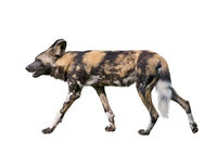 African wild dog isolated on white background