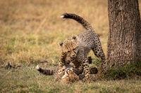 Cheetah cubs wrestle  on ground beside tree