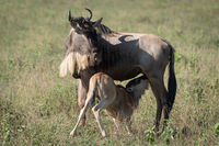 Blue wildebeest nurses calf in long grass