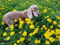 Cocker, Spaniel, Canis lupus familiaris, Wiese, Loewenzahn