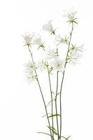 Weiße Glockenblume (Campanula) vor weißem Hintergrund