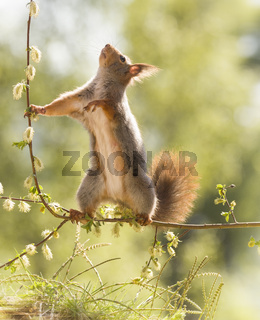 red squirrel on branch looking up
