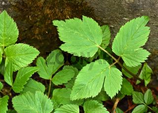 Gewöhnlicher Giersch, Aegopodium podagraria, goatweed