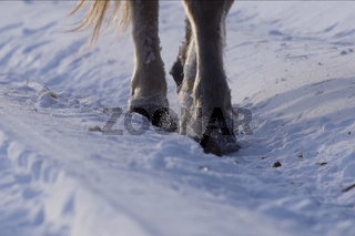 Yakut horses in the winter in the snow. The breed of Yakut horses
