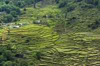 Terrace Paddy cultivation at Rudraprayag, Garhwal, Uttarakhand, India