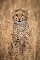 Cheetah cub sitting in grass looking ahead