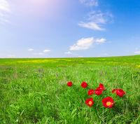 Red flowers field under blue sky