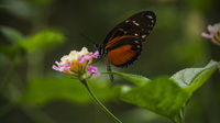 Heliconius Doris Butterfly