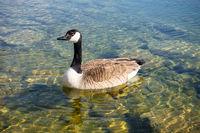 canadian goose at Tutzing Starnberg lake Germany