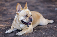 Muddy French Bulldog Male Cooling Down.
