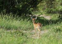 The imbabala or Cape bushbuck, Tragelaphus sylvaticus,  Maasai Mara, Kenya, Africa.
