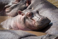 Hippopotamus dozing on another in muddy pool