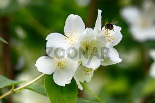 Syringa, Philadelphus - is luxurious virgin fragrant flower