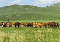 Rinderherde grast in der Steppe, Mongolei