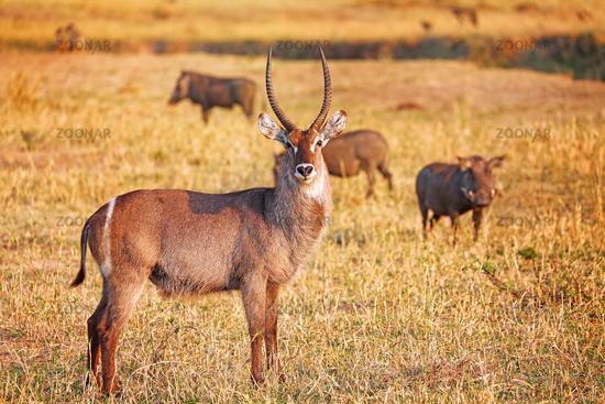 Wasserbock, Liwonde Nationalpark, Malawi, (Kobus ellipsiprymnus), | Waterbuck, Liwonde National Park, Malawi, (Kobus ellipsiprymnus)