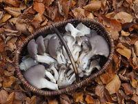 Korb mit Austernseitlingen im Herbstlaub