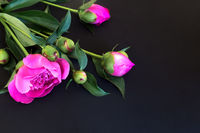 Blooming pink peonies on a black background.