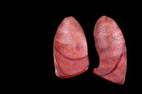 Two human lungs as models on black background