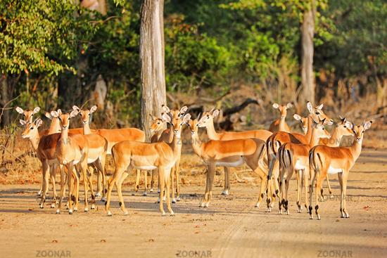 Impalaherde, Liwonde Nationalpark, Malawi, (Aepyceros melampus) | family of Impalas, Liwonde National Park, Malawi, (Aepyceros melampus)