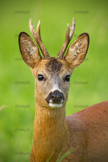 Detail of head of curious roe deer buck in wild