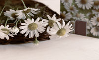 Medicinal plant - the stems and flowers of the medicinal chamomile