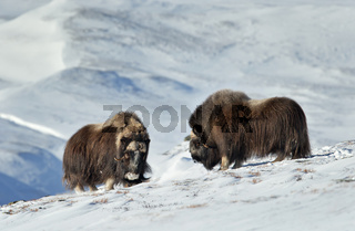 Two Musk Oxen standing in snowy mountains during winter