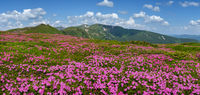 Blossoming slopes of Carpathian mountains with pink rhododendron flowers