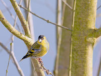 Male black-headed goldfinch