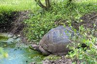 Galapagos-Riesenschildkröte (Chelonoidis nigra ssp) amTümpel, Galapagos Inseln, Ecuador