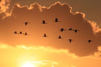 Silhouettes of Cranes( Grus Grus) at Sunset Germany Baltic Sea