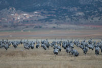 Common cranes (Grus grus) preening. Gallocanta Lagoon Natural Reserve. Aragon. Spain.