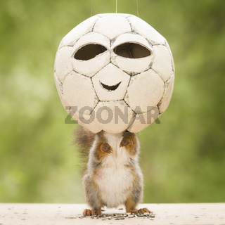 red squirrel is standing in a football