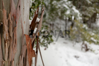 Gum tree bark in a snowy Australian landscape