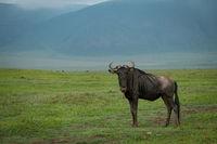 White-bearded wildebeest stands with hills behind grassland