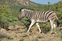 zebra in Etosha Namibia wildlife safari