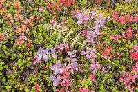 herbstlich bunte Flora, Dundret Naturreservat, Lappland