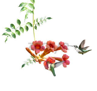 Ruby Throated Hummingbirds Hover Over Trumpet Vine on white background