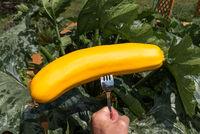 Person hält Zucchini im Garten frisch geerntet auf Gabel - Nahaufnahme