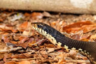 Malagasy snake Giant Hognose, Madagascar wildlife
