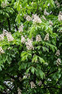 Kastanienbaum in voller Blüte mit aufrecht stehenden Blütenständen