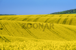 Fields with rapeseed culture in South Moravia