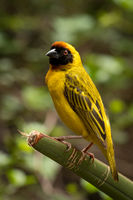 Masked weaver bird standing on green plant