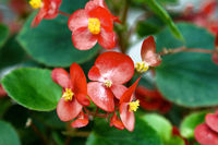 Busy Lizzie, red shiny flowers