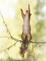 red squirrel on branch is reaching up