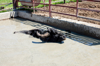 Buffaloes in a dairy farm take a bath