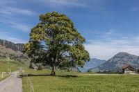 Lindenbaum in schöner Landschaft, Wirzweli, Nidwalden, Schweiz, Europa