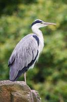 Gray Heron, Ardea cinerea
