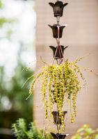 Green succulent plants hanging in flowerpot outdoor