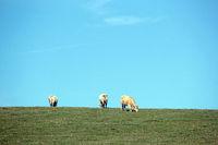 Weisse Rinderrasse in Tschechien