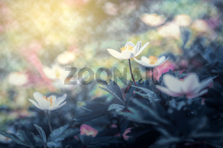 Beautiful spring anemone flower bloom close-up in forest on artistic background with a soft focus. Floral nature. Greeting card template. Magical delightful toned image